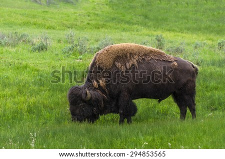 bison grazing grass in Yellowstone National Park