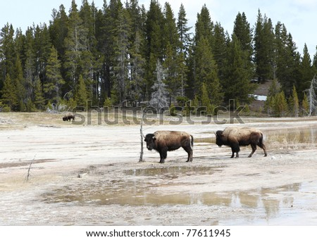 Bison grazing in marshes in Yellowstone Park - stock photo