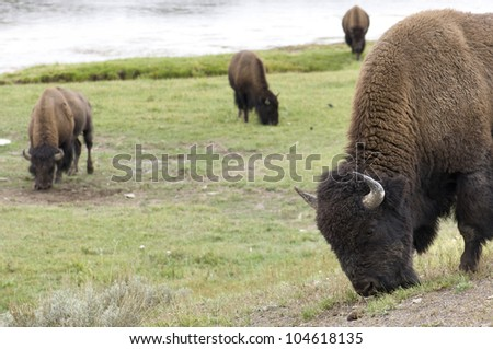 bison grazing on Yellowstone National Park, Usa