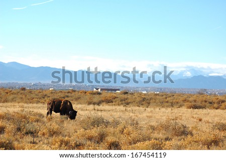 Bison Grazing with Rocky Mountain Backdrop - stock photo