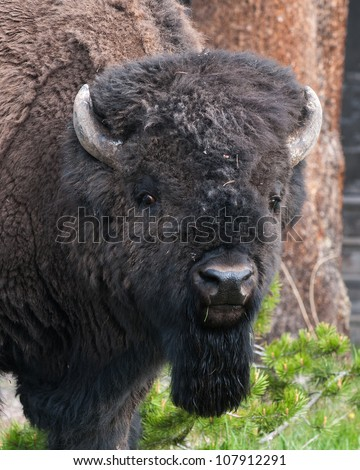 Bison Head Close Up - stock photo