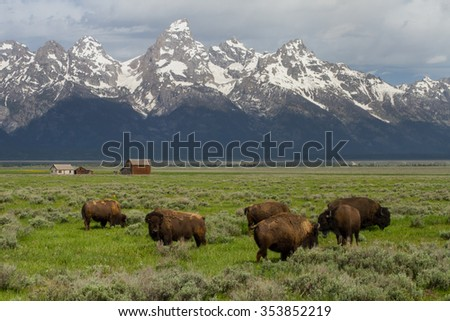 bison herd grazing in big green field with western homestead barns and wyoming teton mountains - stock photo