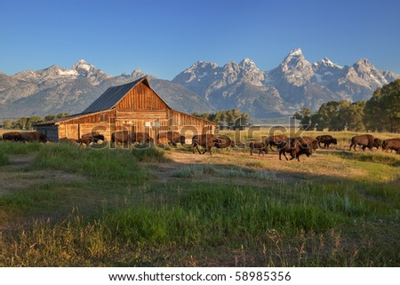 Bison herd passing by the Moulton Barn, Grand Teton National Park - stock photo