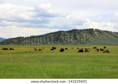 Bison in a vast valley, Wyoming, USA. - stock photo