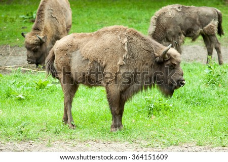 Bison in captivity at the zoo - stock photo