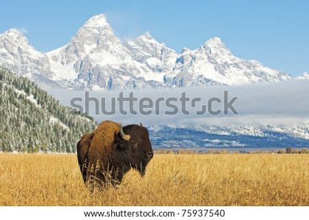 Bison in front of Grand Teton Mountain range with grass in foreground - stock photo