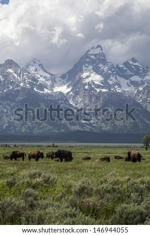 Bison in Grand Tetons National Park - stock photo