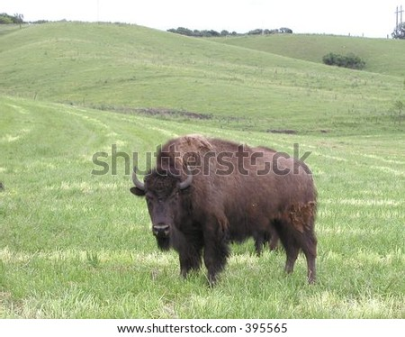 Bison in SW Minnesota