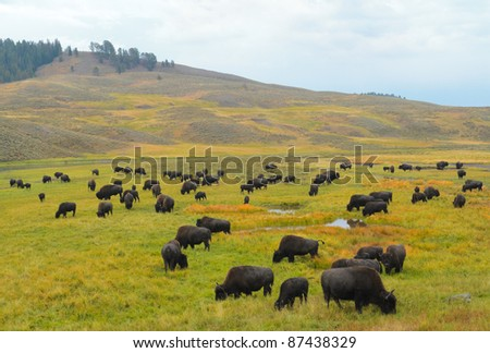 Bison in the Hayden Valley of Yellowstone National Park - stock photo