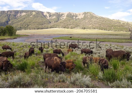 Bison in the Lamar Valley - stock photo