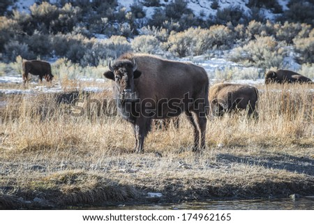 Bison in winter Yellowstone National Park Wyoming