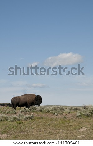 Bison in Yellowstone at ridge line. - stock photo