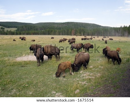 Bison in Yellowstone National Park, Wyoming - stock photo