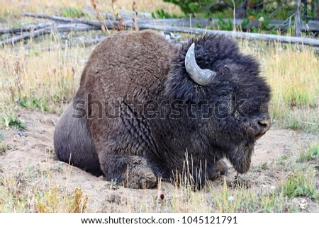 bison latin singles From canada's beaver to australia's red kangaroo, here's a look at some national animals around the world.
