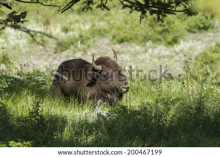 Bison lays in the shade at the National Elk and Bison Range in Montana - stock photo
