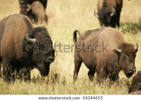 Bison Lovers again in Yellowstone National Park - stock photo