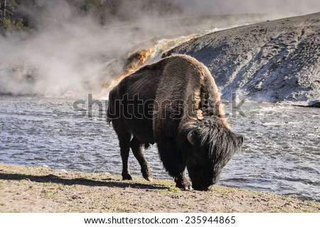 Bison near Excelsior geyser, Yellowstone National Park (USA) - stock photo