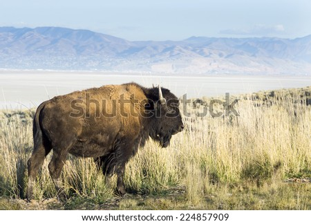 """Bison on a background of mountains and """"the Great Salt Lake."""" Utah, Park """"Antelope Island"""" - stock photo"""