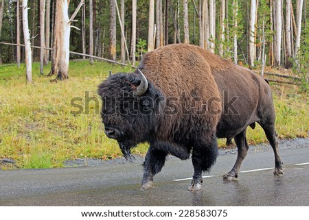 Bison on a road, Yellowstone, Wyoming, USA. - stock photo