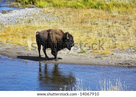 Bison on a watering place in well-known Yellowstone national park in USA - stock photo