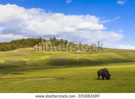 Bison out in the field at Yellowstone National Park - stock photo