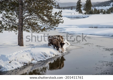 bison pair along madison river in winter in yellowstone national park - stock photo