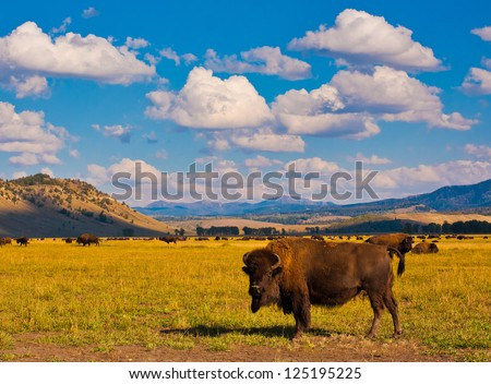 Bison Paradise in Yellowstone National Park, USA - stock photo