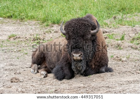 Bison relaxing in the dirt. - stock photo