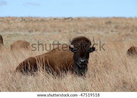 Bison resting on the prairie - stock photo