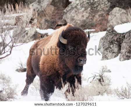 Bison running during winter in Yellowstone - stock photo