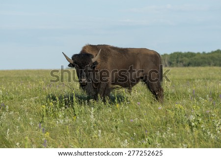 Bison standing in a field, Lake Audy Campground, Riding Mountain National Park, Manitoba, Canada - stock photo