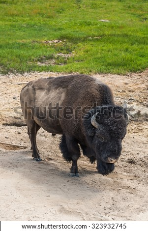 bison stay and moving  in Geyser area in Yellowstone National Park,Wy,Usa.