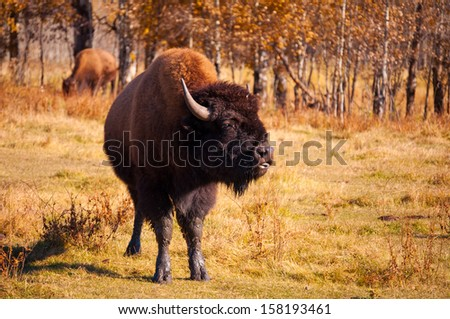 Bison sticking it's tongue out - stock photo