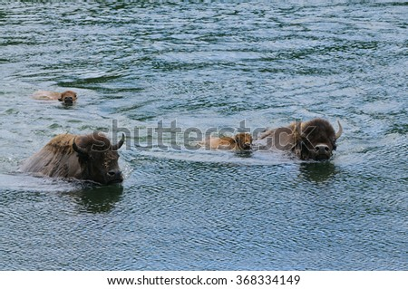 Bison swimming across the Yellowstone river in Yellowstone National Park - stock photo