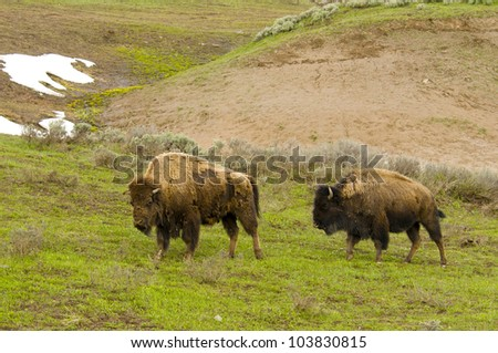Bison walking up a hill in Yellowstone National Park - stock photo