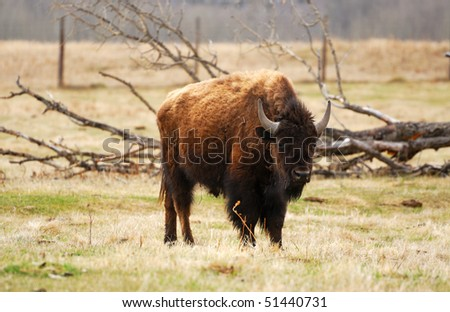 bison wandering in meadowland in spring, elk island national park, alberta, canada - stock photo