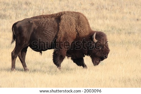 Bison - Wind Cave National Park - stock photo