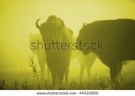 bisons - stock photo