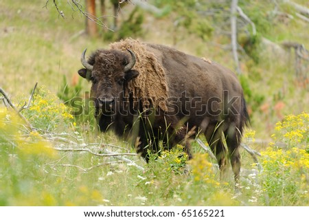 Bisons - stock photo