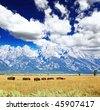 Bisons at the Antelope Flats in Grand Teton National Park - stock photo