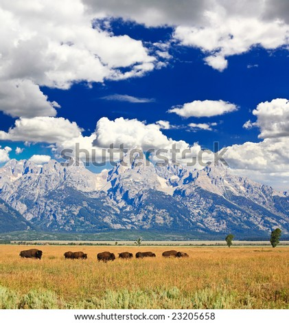 Bisons at the Antelope Flats in Grand Teton National Park