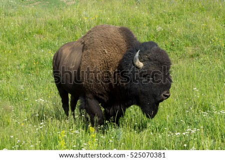 Bisons in Hayden Valley, Yellowstone National Park, Wyoming, USA
