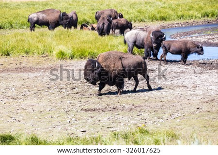 Bisons in Yellowstone National Park, Wyoming, USA