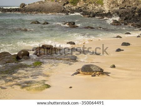 Bit Pacific islands tortoise going into the ocean.  - stock photo