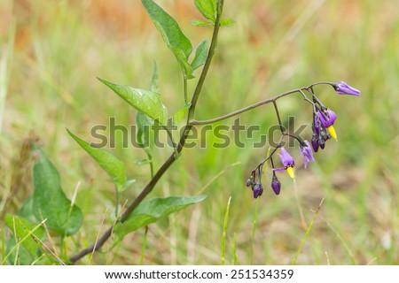 Bittersweet nightshade, Solanum dulcamara blooming - stock photo