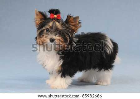 Biver york puppy stand on blue background and looking at camera - stock photo