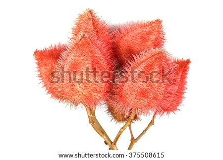 Bixa orellana or Annatto tree on a white background. - stock photo