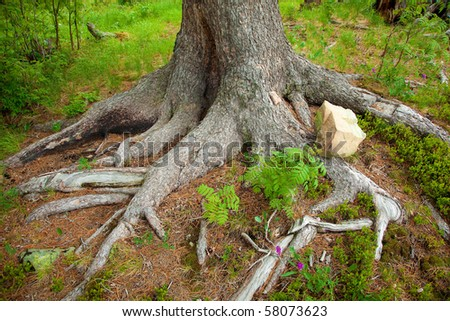 bizarre roots of tree in siberia - stock photo