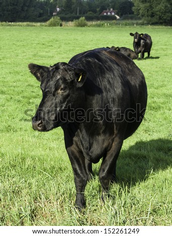 Black Aberdeen Angus grazing in an English summer meadow - stock photo