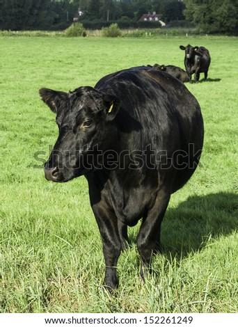 Black Aberdeen Angus grazing in an English summer meadow - stock photo